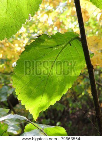 Asymmetry Of  Elm Leaf