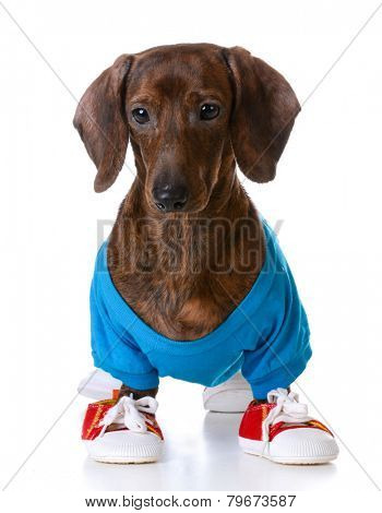 sports hound - dachshund wearing shirt and running shoes  standing on white background