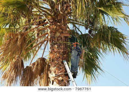 Arborist Working Up Palm Tree.