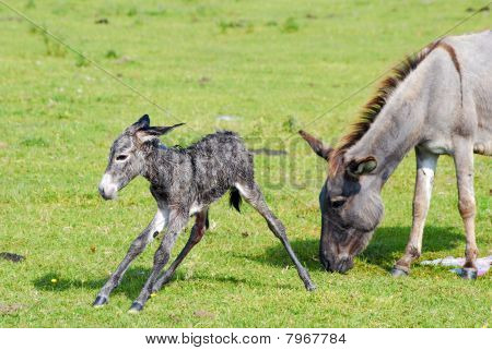 just born little donkey first step