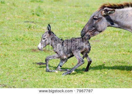 little donkey and jenny