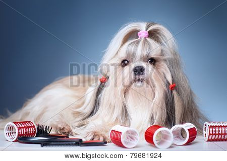 Shih tzu dog with red curlers grooming on blue background.