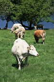 Cattle in a field with grass trees and water. poster