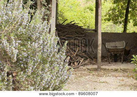 Rosemary Bush In Bloom