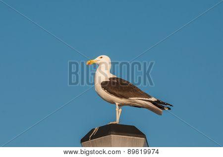 Kelp Gull On A Lamp Post