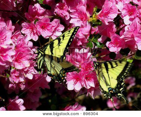 A Pair Of Butterflies