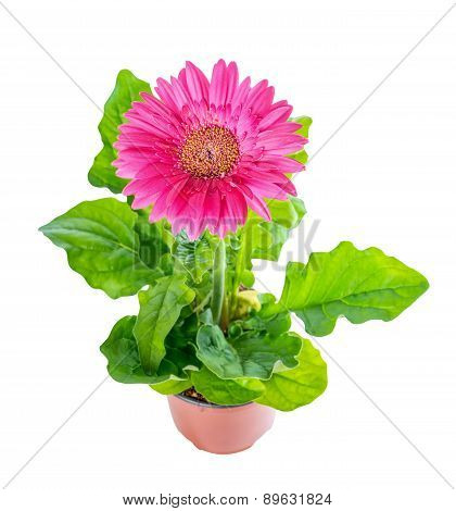 Top Down Of Beautiful Blooming Pink Flower Gerbera In Flowerpot Is Isolated On White Background, Clo