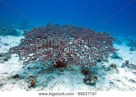 Acropora Coral At The Bottom Of Tropical Sea, Underwater