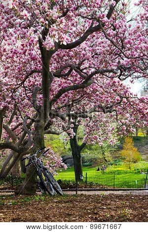 Bicycles Under A Tree In Spring Nyc