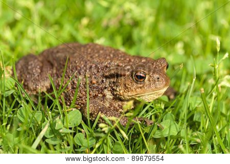 European Common Toad, Bufo Bufo Outdoor