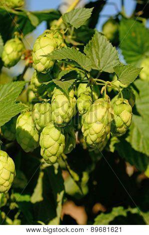 Willamette Valley Oregon hops