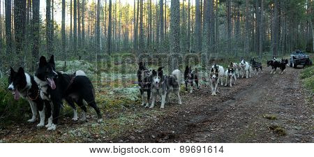 Training sled dogs without snow.