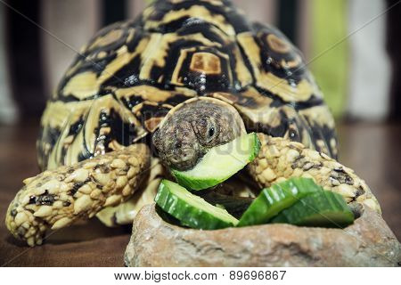 Leopard Tortoise Is Feeding
