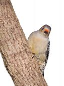 female red-bellied woodpecker peaks around the on trunk of a tree; white background poster