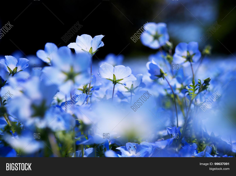 Nemophila, Baby Blue Eyes ( Image & Photo | Bigstock