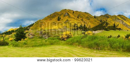 Beautiful mountains of New Zealand covered by blooming yellow gorse (Ulex europaeus). Panorama