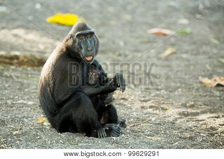 Portrait Of Celebes Crested Macaque, Sulawesi, Indonesia