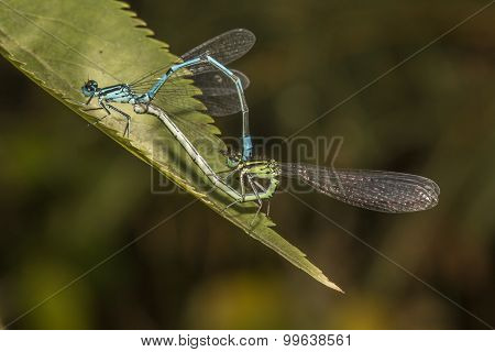 Blue featherleg (platycnemis Pennipes)