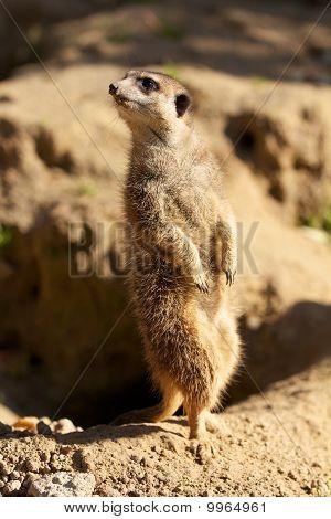 Meerkat Watching The Skay