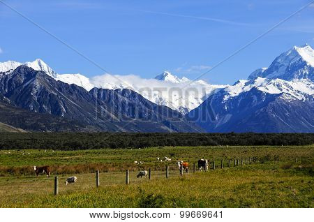 Cows And Sheep Grazing