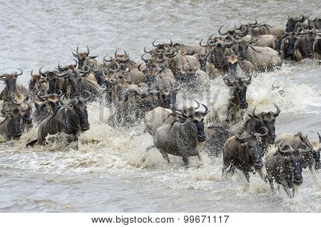 Herd of Wildebeest migration