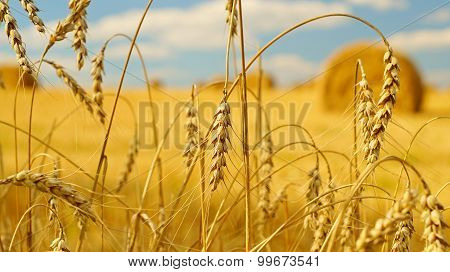 Rural landscape with ears of wheat