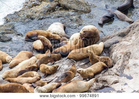 Sea Lions In Oregon