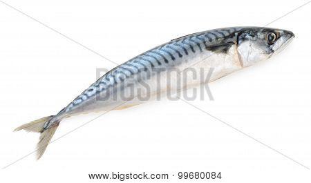 Mackerel Fish Isolated