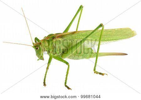 Grasshopper Isolated - Tettigonia Viridissima