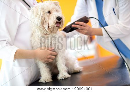 Veterinarians preparing sick Maltese dog by trimming part of hair and preparing him for intervention