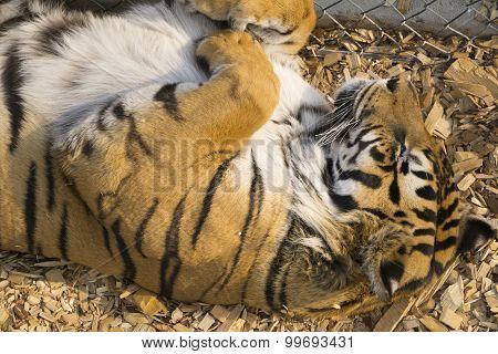 Cute Tiger Sleeping on his Back
