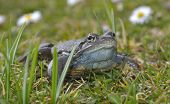 Agile Frog (Rana dalmatina) in grass in the nature poster
