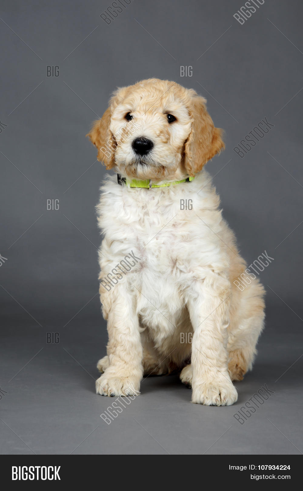 Cute Goldendoodle Pup Image Photo Free Trial Bigstock