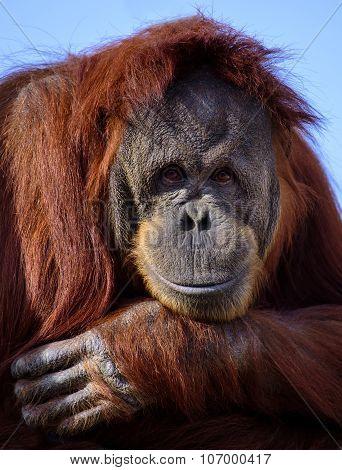 Orangutan (Pongo Abelii)