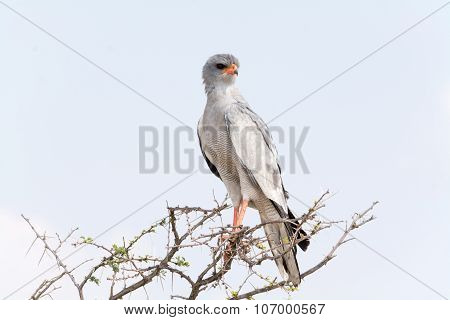 Pale Chanting Goshawk
