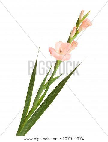 Gladiolus Isolated
