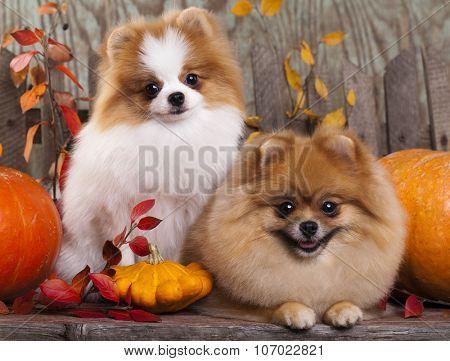 Two German (Pomeranian) Spitz dogs