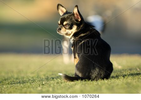 paco is a 2 year old male chihuahua enjoying the afternoon sunset. poster