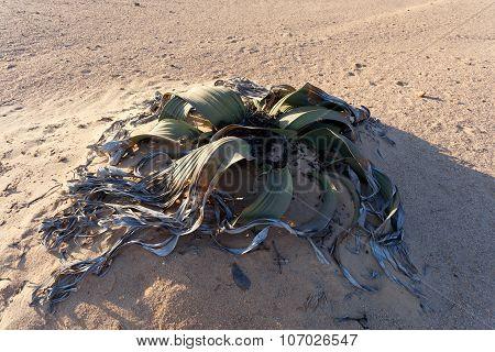 Welwitschia Mirabilis, Amazing Desert Plant