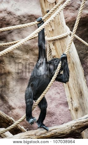 Young Western Lowland Gorilla, Animal Scene