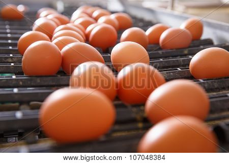 Fresh And Raw Chicken Eggs On A Conveyor Belt