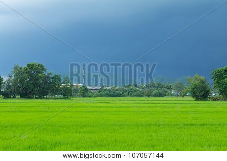 Green Rice Field With Heavy Strom Background