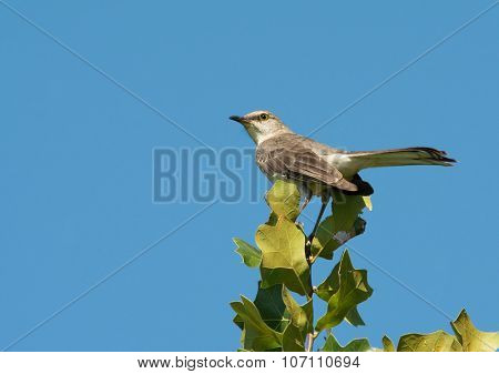 Mimus polyglottos, Northern Mockingbird perched on top of an Oak tree against clear blue sky