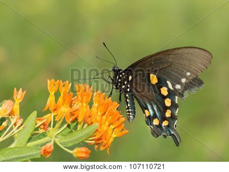 Pipevine Swallowtail butterfly feeding on Butterflyweed