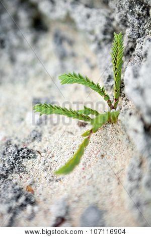 Tropical Green Bermuda Plant