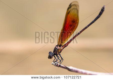 Damsel Flies