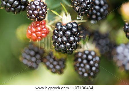 Dewberries on a shrub. Macro shot. Blackberries on the shrub in the garden.