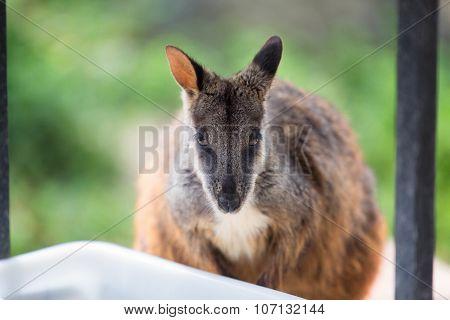 Swamp Wallaby (wallabia Bicolor), Also Known As The Black Wallaby. Wildlife Animal.