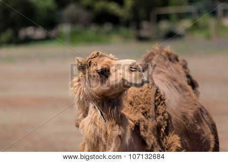 Camel in outback Australia. Beautiful camel, brown camel, camel looking, camel at the zoo, camel in Australia, Africa camel, the camel looks at animals, camel in the desert. Image of camel in desert.