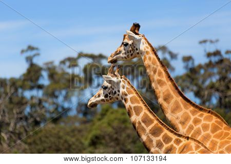 Giraffes Two Affections Wildlife Animals, giraffe in the national park.